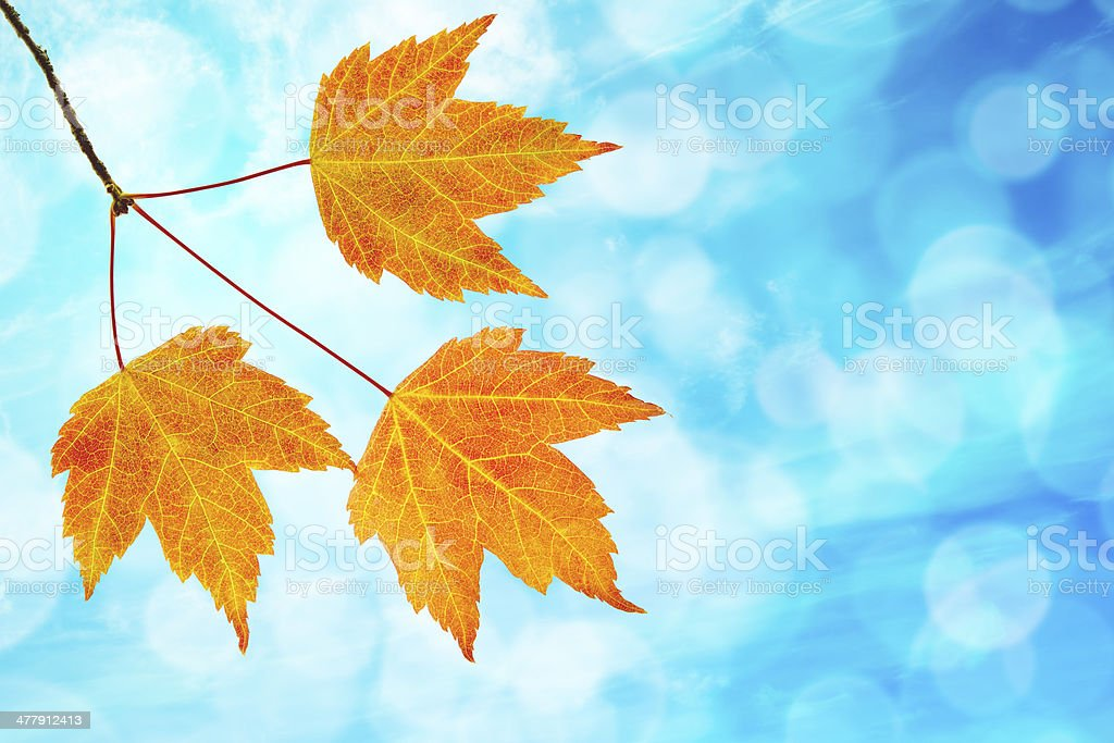 Fall Maple Leaves Trio with Blue Sky stock photo