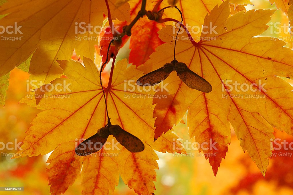 Fall Maple stock photo