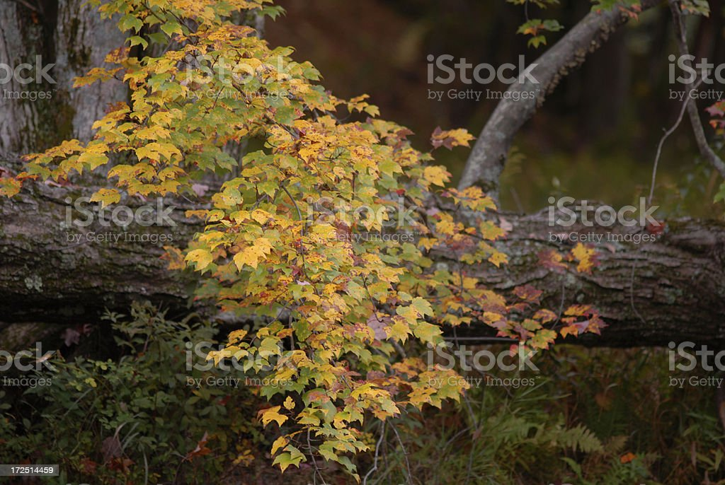 Fall Maple royalty-free stock photo