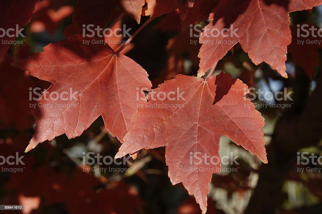 Fall Maple stock photo