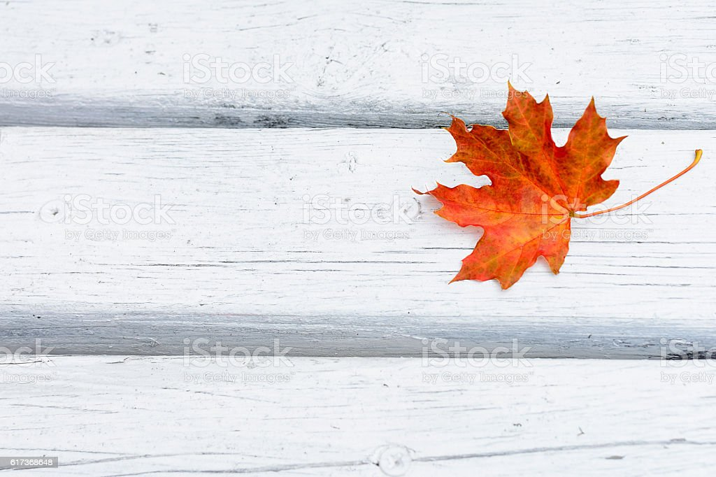 Fall maple red leaf on white wooden background stock photo
