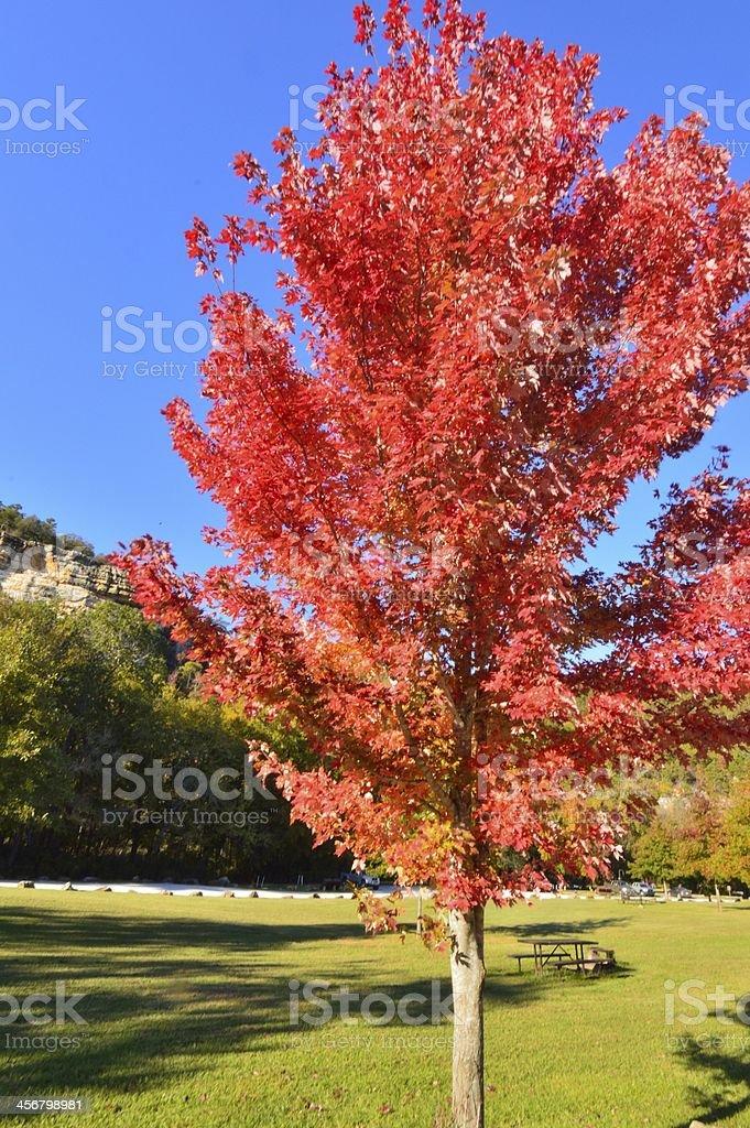 fall maple regalia stock photo