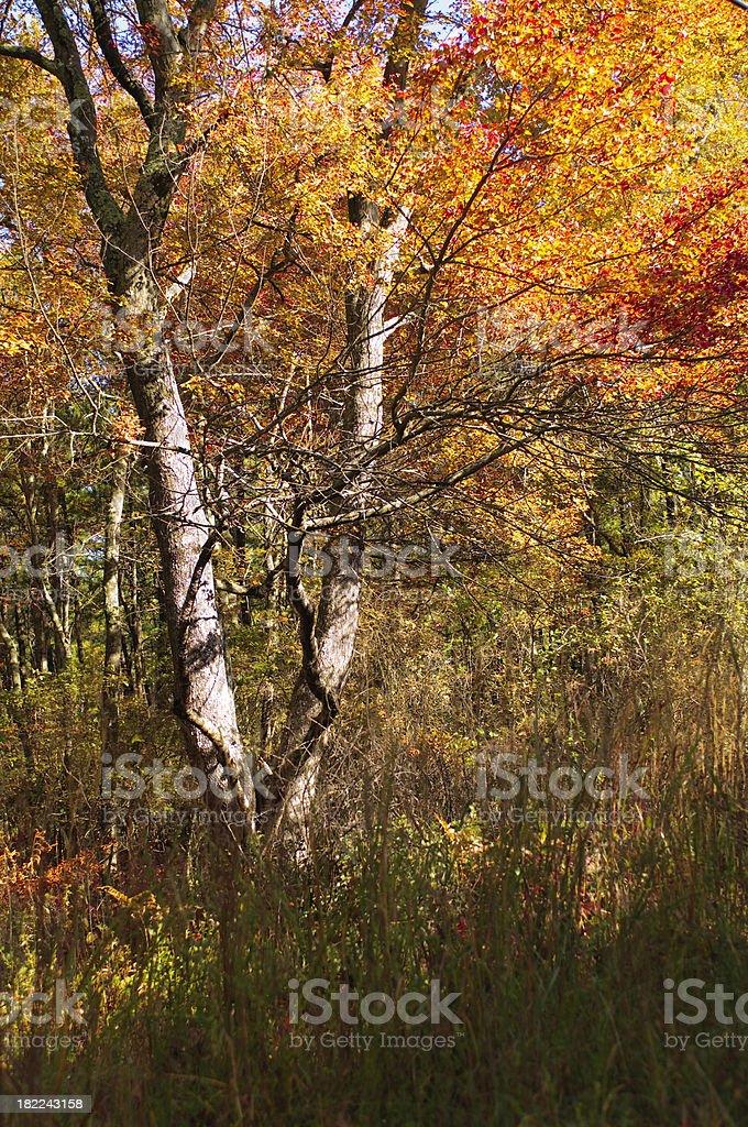 Fall Maple Tree royalty-free stock photo
