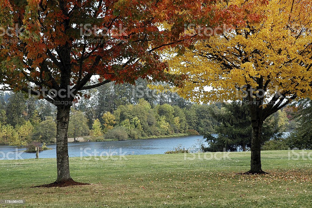 Fall Maples stock photo