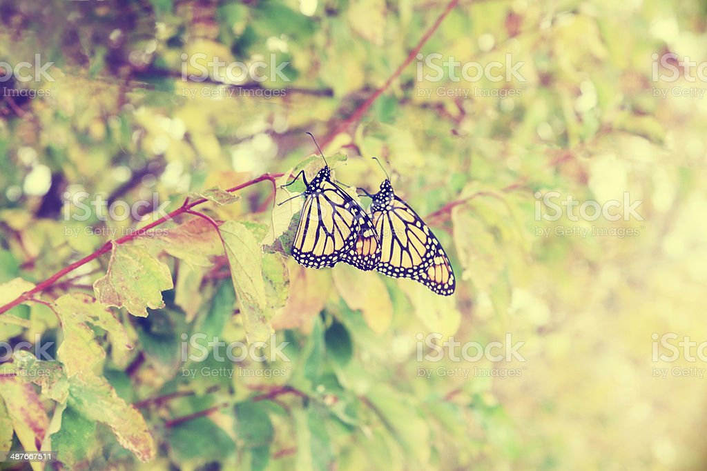 Fall Migrating Monarch Butterflies royalty-free stock photo