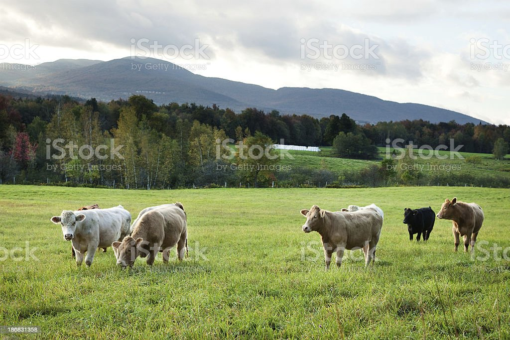 Fall Monteregie Landscape with cattle stock photo