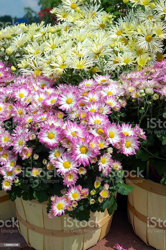 Fall Mums in Baskets stock photo