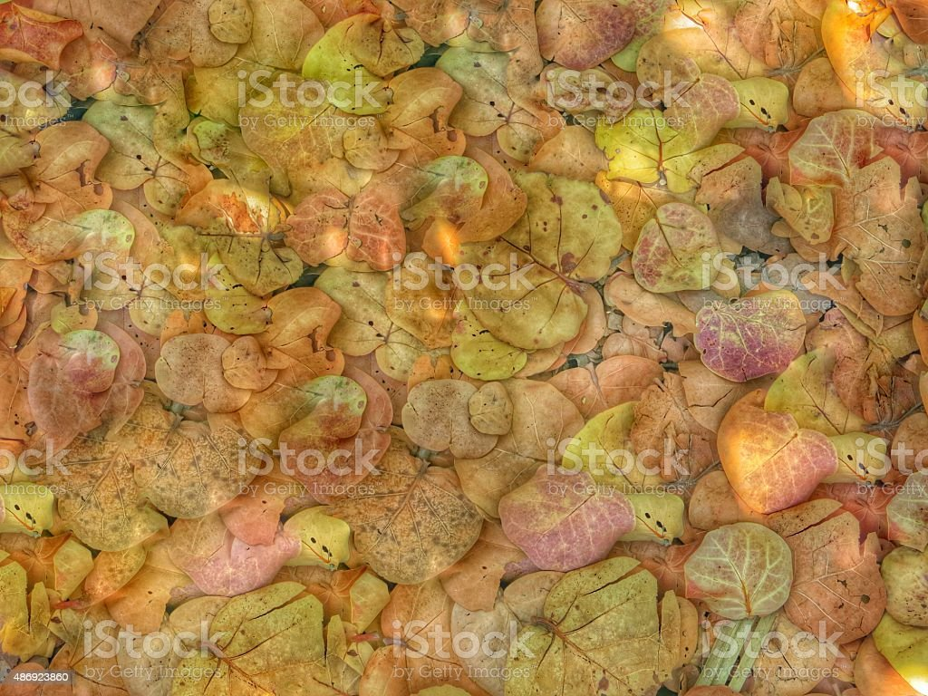 Fall Pattern Full Frame Sea Grape Tree Leaves, Florida Beach stock photo