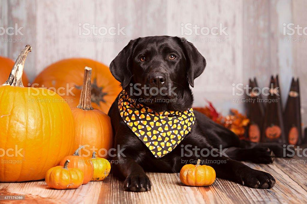 Fall Portrait of a beautiful Black Labrador Retriever stock photo