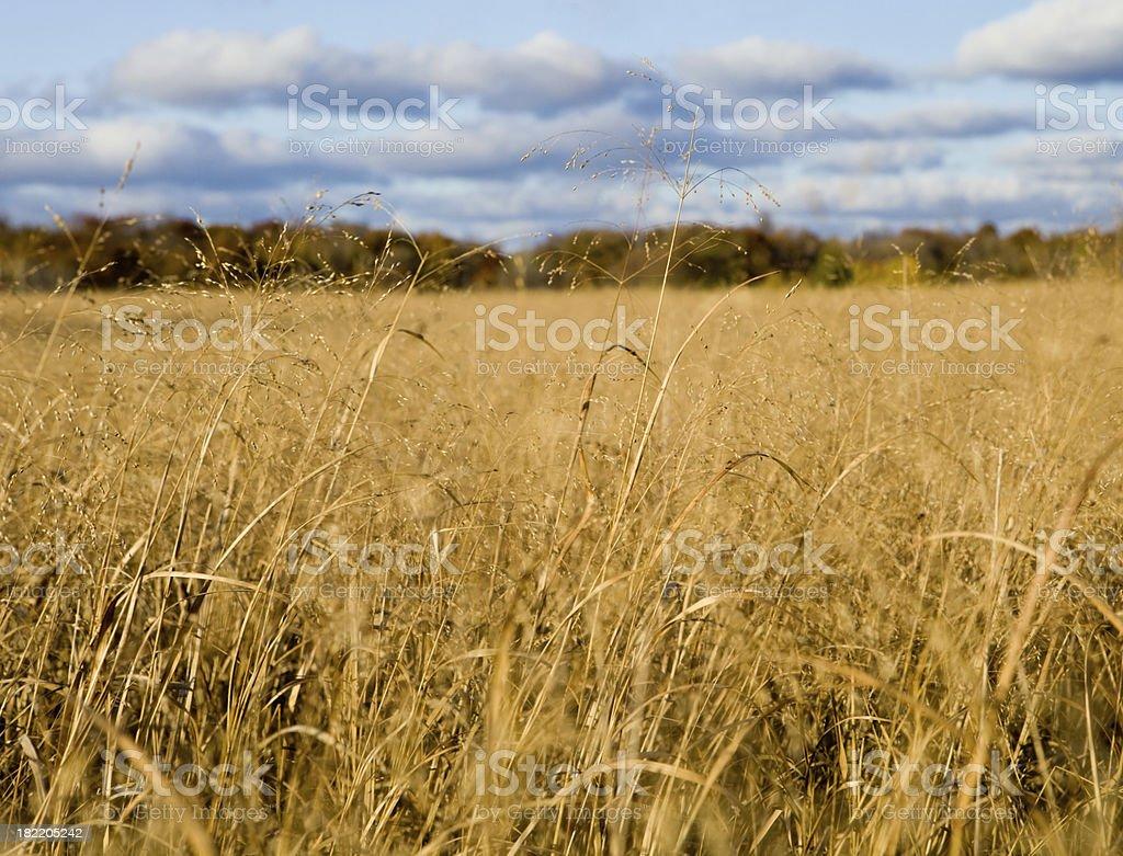 Fall Prairie Grass royalty-free stock photo