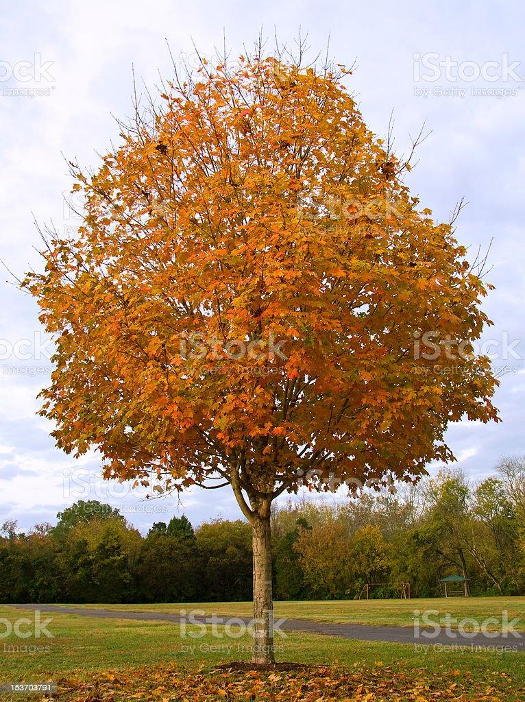 Fall Sugar Maple royalty-free stock photo