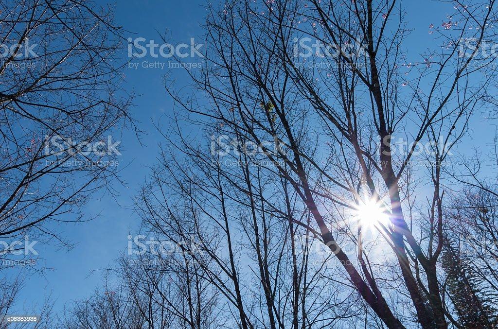 Fall sun shining through canopy of Wild Himalayan Cherry trees stock photo