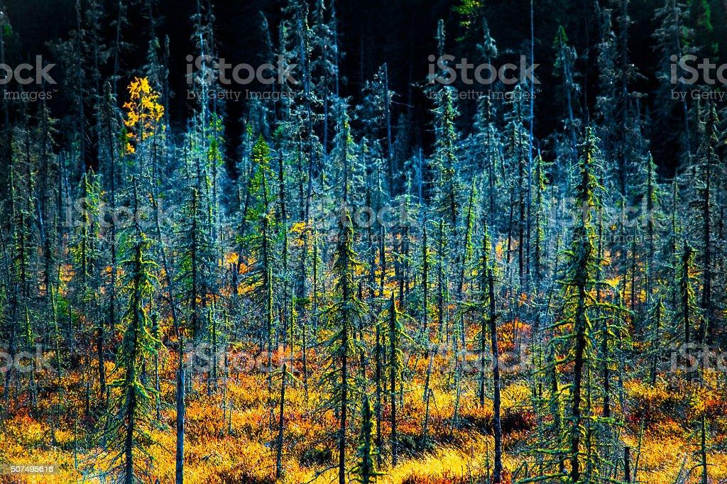 Fall Tamarak Trees royalty-free stock photo