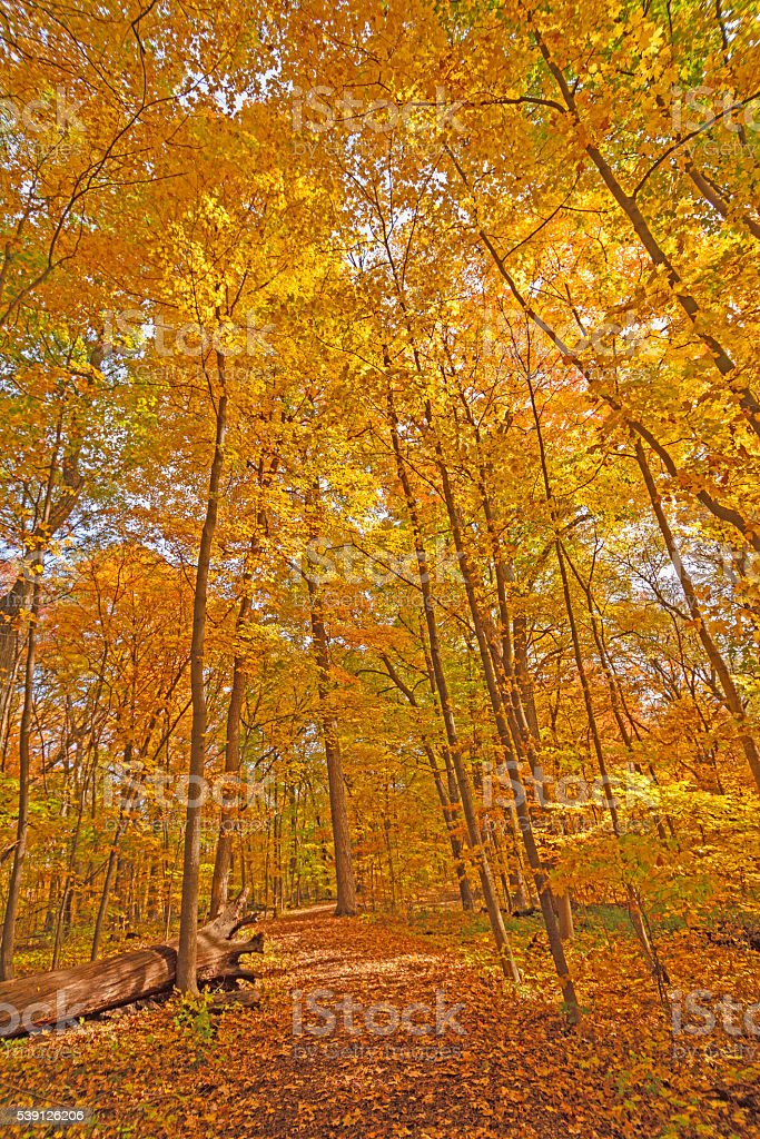 Fall Tree Canopy over a Secluded Path stock photo
