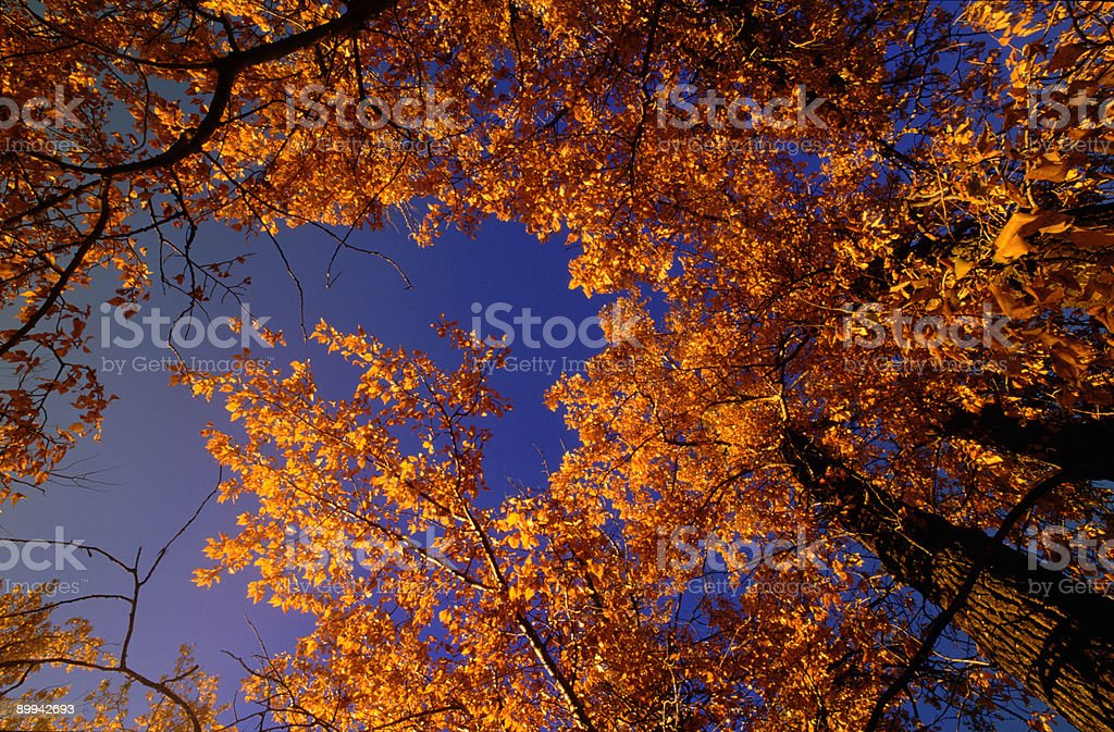 Fall trees looking up royalty-free stock photo