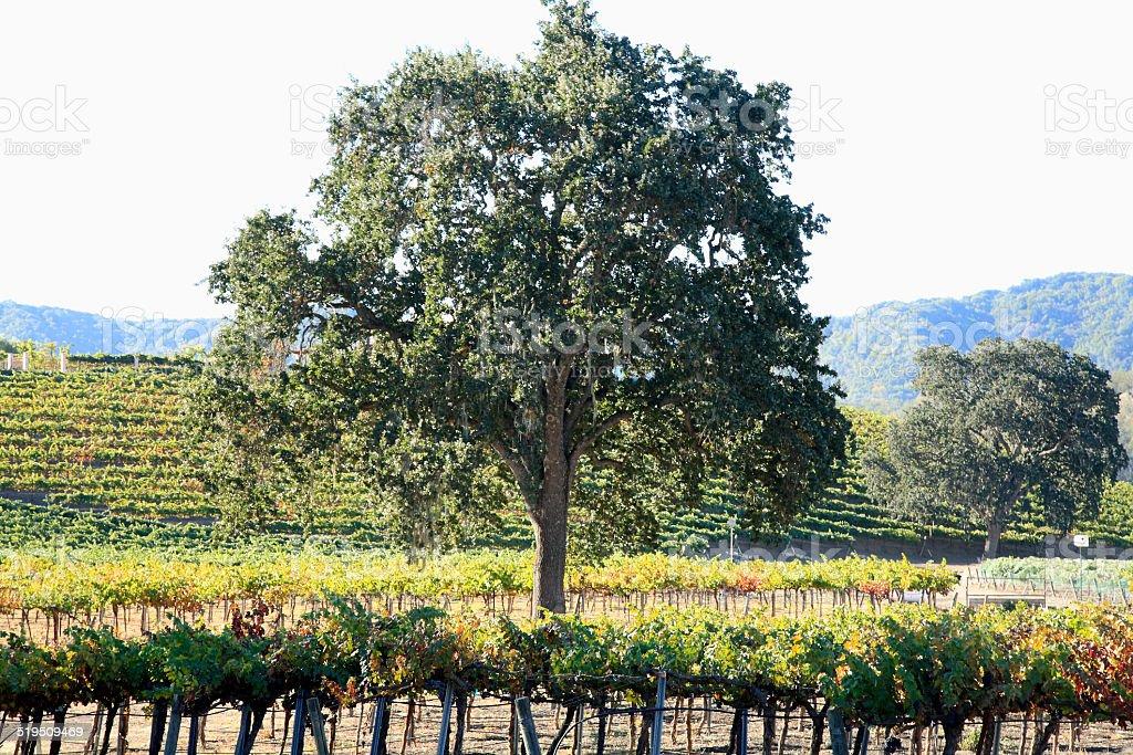 Fall Vineyard And Live Oak Trees stock photo