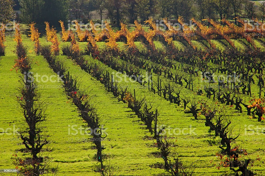 Fall Vineyard, Sonoma County CA stock photo