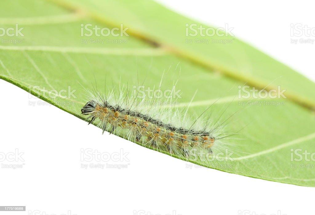 Fall webworm crawling on leaf royalty-free stock photo