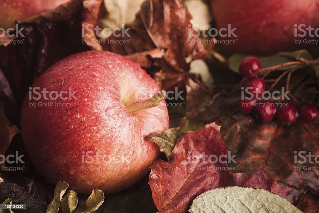 Fallen apples on leaves royalty-free stock photo