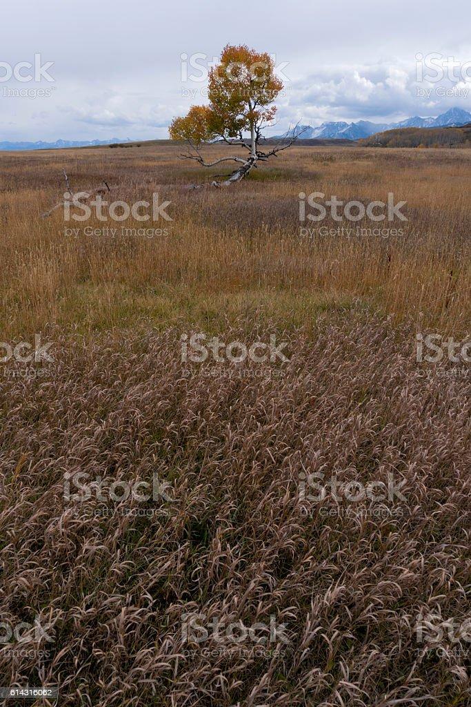Fallen Aspen Tree stock photo