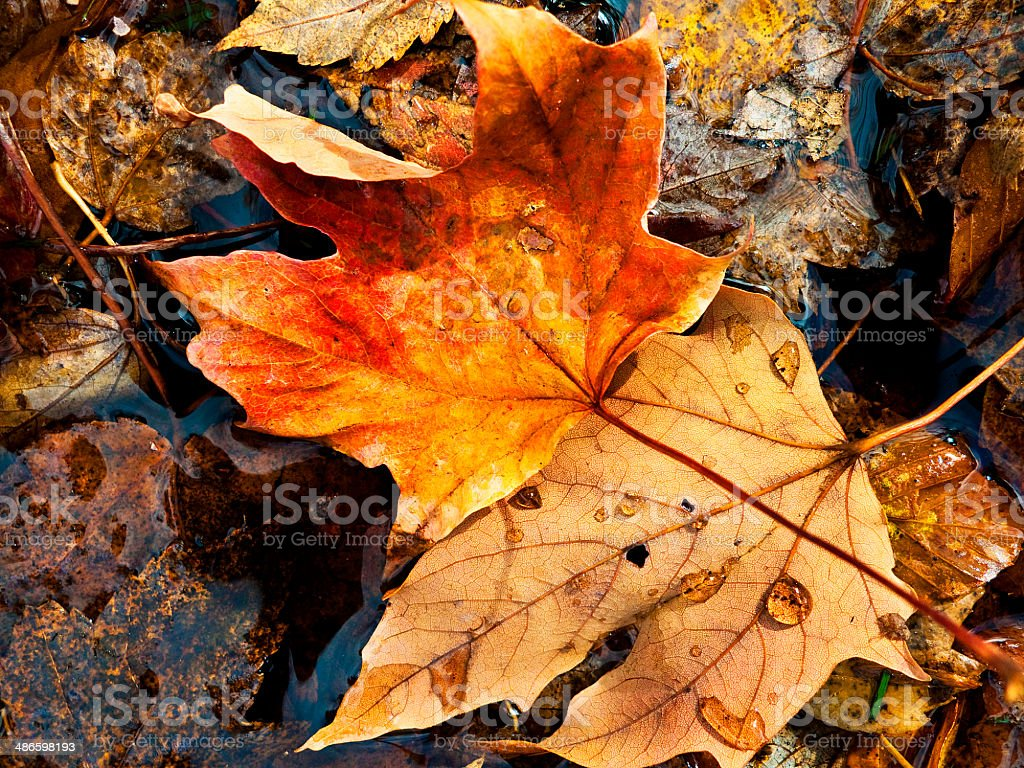 fallen autumn maple leaf stock photo