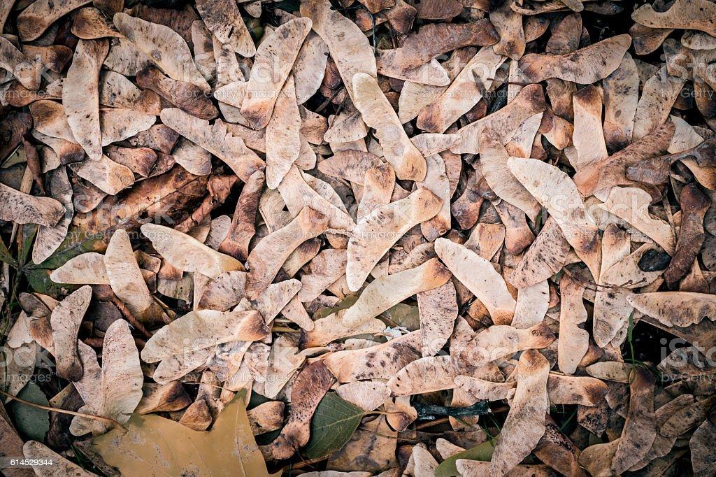 Fallen autumn maple seeds stock photo