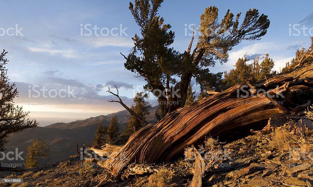 Fallen Bristlecone Pine royalty-free stock photo