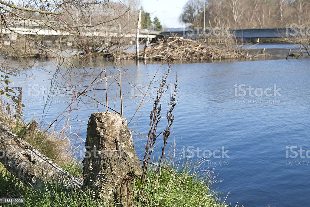 Fallen cottonwood and beaver dam in lake stock photo