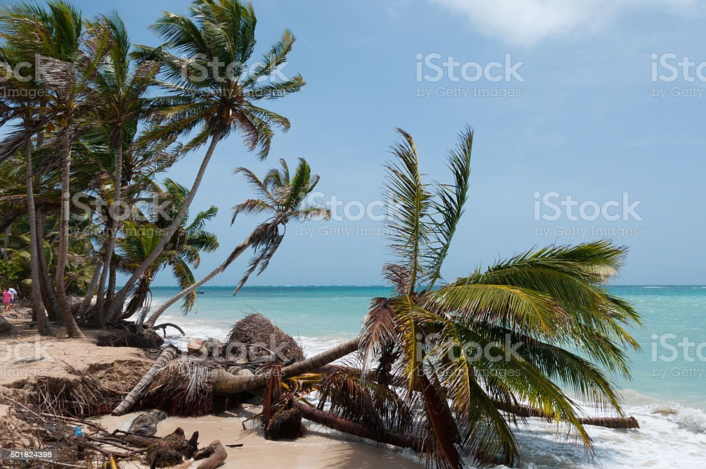 Fallen down Palm Tree in the wind on caribbean white stock photo