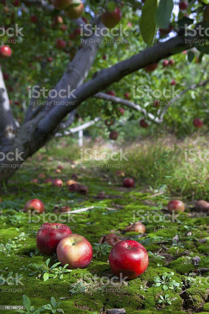 Fallen Fruit stock photo