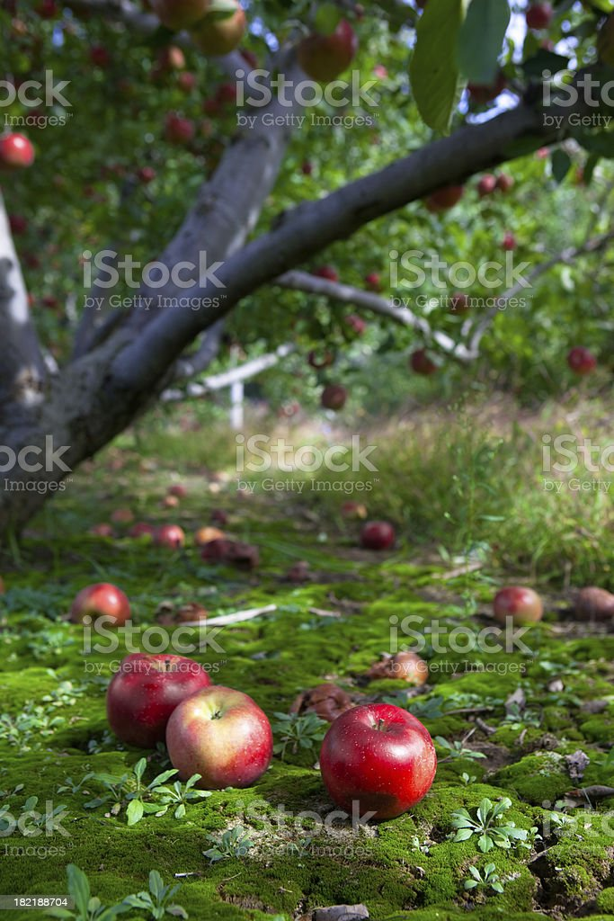 Fallen Fruit stock photo
