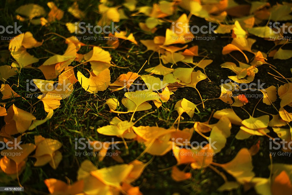 Fallen Ginkgo leaves in autmn stock photo