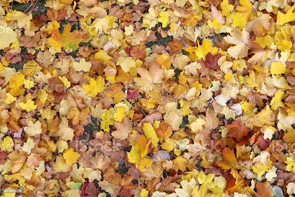 Fallen golden coloured field maple leaves stock photo