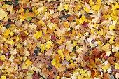 Fallen golden coloured field maple leaves