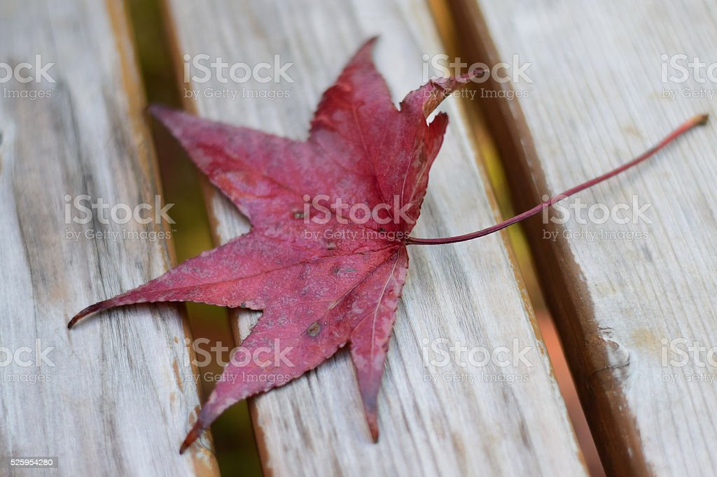 Fallen Japanese maple leaf on a park bench stock photo