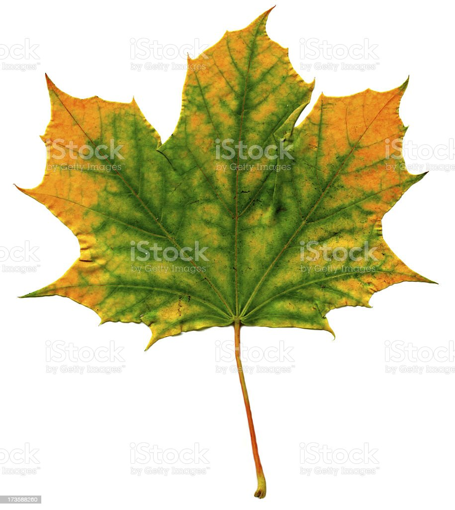 Fallen Leaf stock photo
