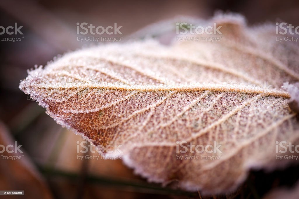 Fallen leaf with frost on it at sunrise stock photo