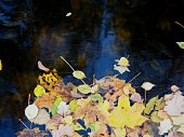 Fallen leaves in water