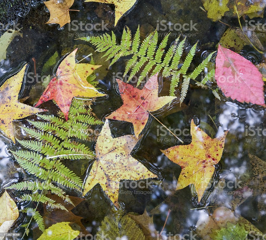 Fallen leaves in water series royalty-free stock photo