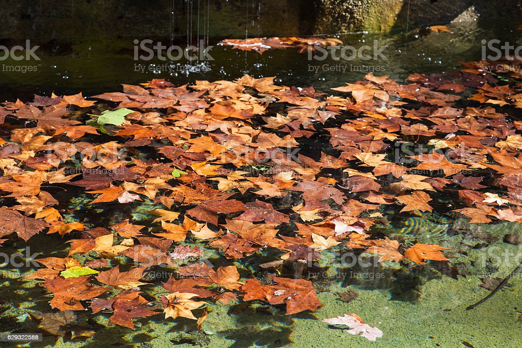 fallen leaves of sycamore on surface of water stock photo