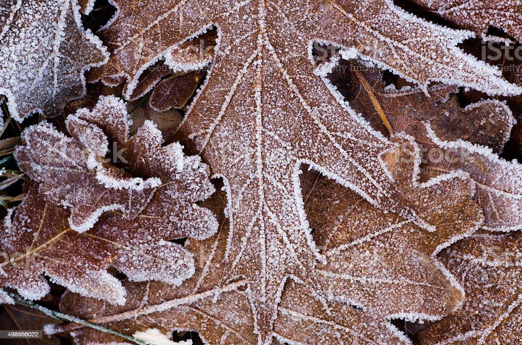 fallen leaves under hoarfrost stock photo