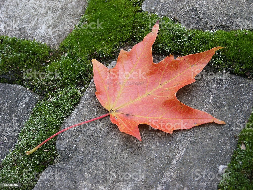fallen maple leaf royalty-free stock photo