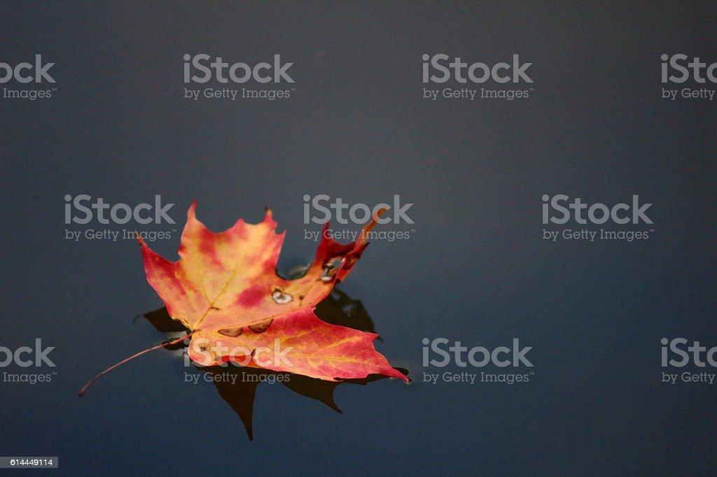 Fallen maple leaf stock photo