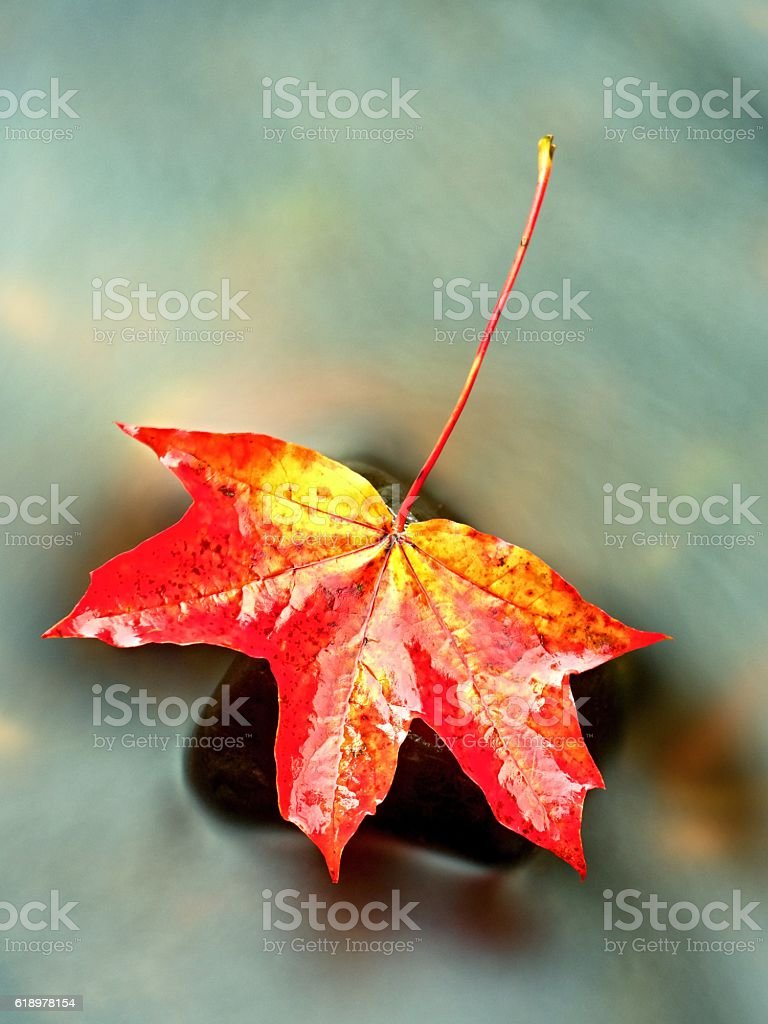 Fallen maple leaf. Rotten dotted maple leaf in cold water stock photo