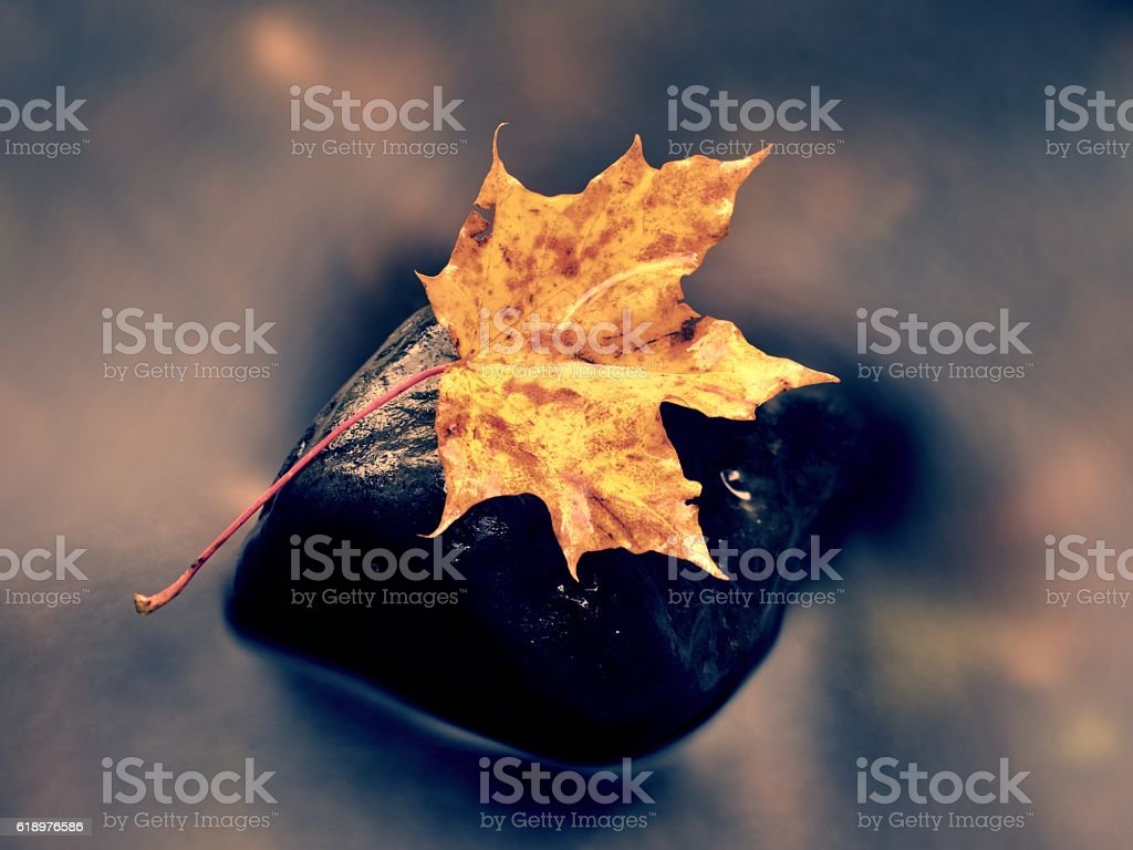Fallen maple leaf. Rotten yellow orange dotted maple leaf stock photo