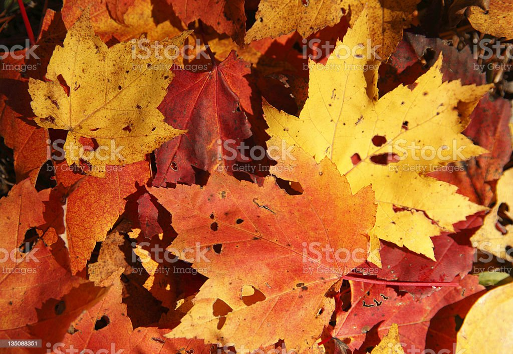 Fallen Maple Leaves Backgroung royalty-free stock photo