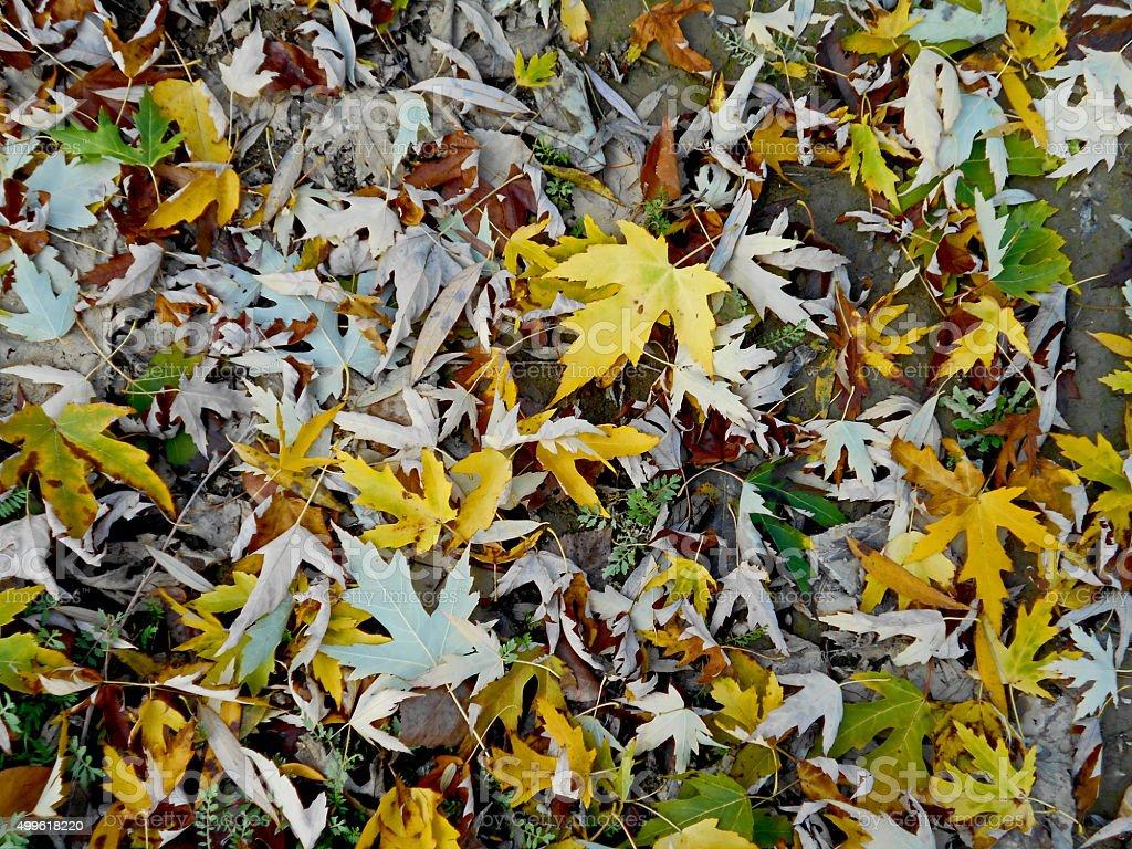 Fallen Maple leaves in autumn stock photo