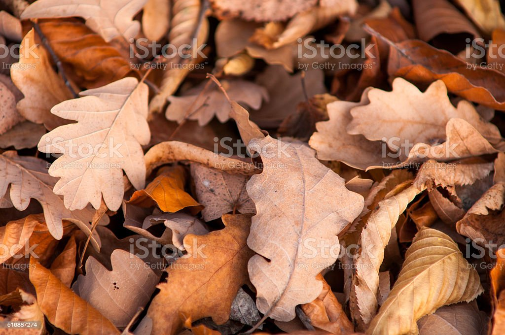 Fallen oak leaves. Autumn. stock photo