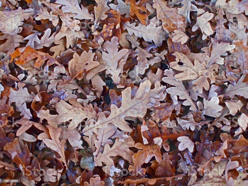 Fallen Oak leaves in autumn stock photo