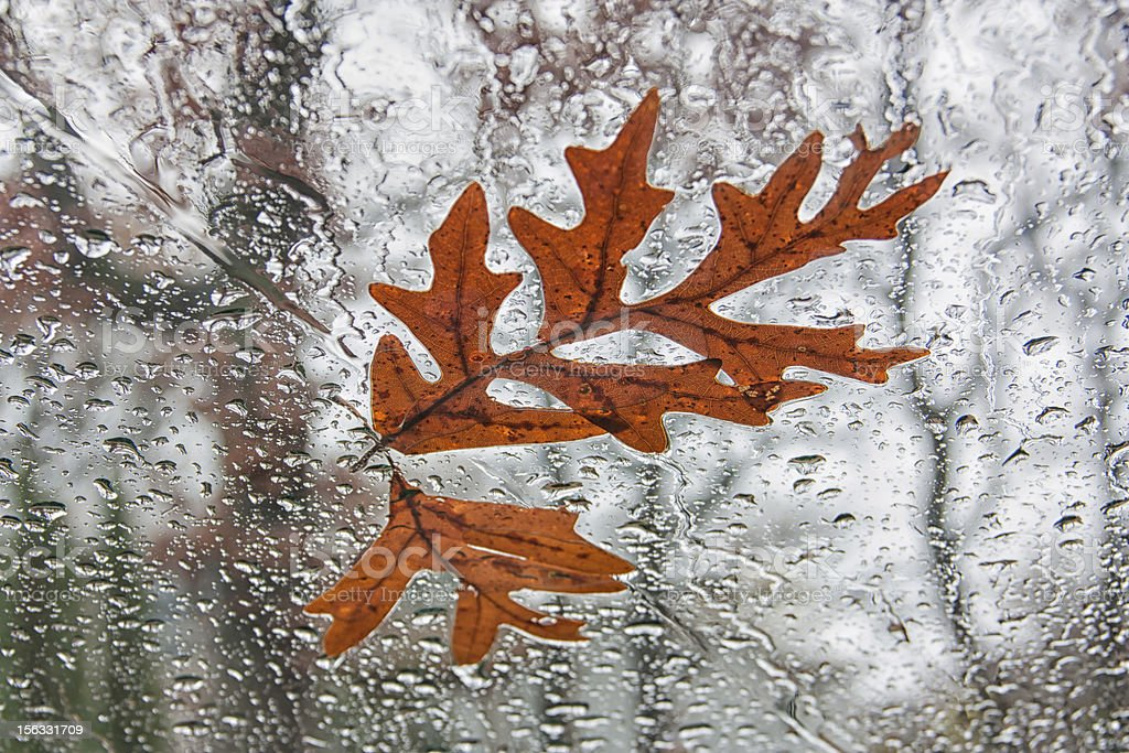 Fallen Oak Leaves on Windshield royalty-free stock photo